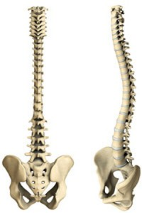 how-does-spine-form-1