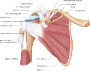 shoulder-anatomy